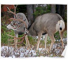 Mule Deer Buck Fight 1 Poster