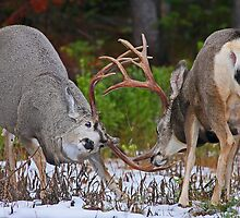 Mule Deer Buck Fight 4 by A.M. Ruttle