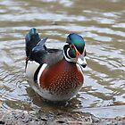 The wood duck by Joe Cashin