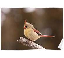 Well fed Cardinal Poster