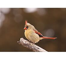 Well fed Cardinal Photographic Print
