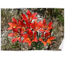 Wood Lily/Western Wood Lily Lilium philadelphicum Poster