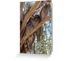 Trio of Tawny Frogmouths Greeting Card