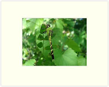Pondhawk - Dragonfly by May Lattanzio
