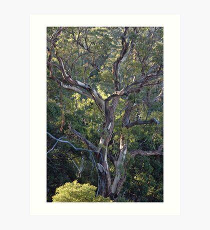 Eucalyptus, Mt Alexander Art Print