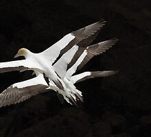 Gannets in formation by photohunter