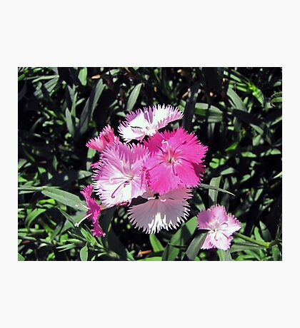 Precious in Pink Photographic Print