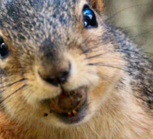 I can fit two acorns in my mouth! :) Sticker