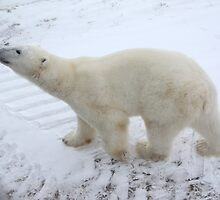 Inquisitive Polar Bear by Carole-Anne