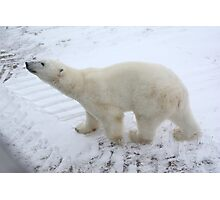 Inquisitive Polar Bear Photographic Print
