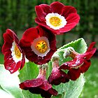 Red garden primula  by Gili Orr