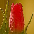 Tulip 1  by MarekM