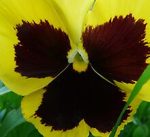 Pansy Face by MaeBelle