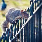 Grey Squirrel by Jakov Cordina