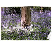 Carpet of Vibrant Purple Bluebells in a Sun Lit Wooded Forest Poster
