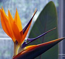 Birds of Paradise (Closeup) by Dennis  Stanton