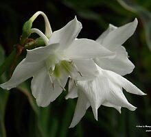 Daffodil by Dennis  Stanton