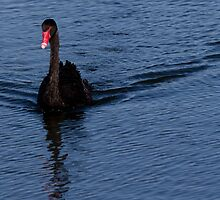 Black Swan at Lake Monger Reserve, Perth W.A. by Sandra Chung