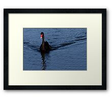 Black Swan at Lake Monger Reserve, Perth W.A. Framed Print