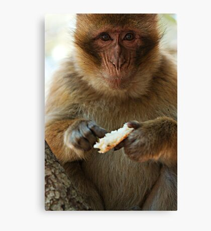 Portrait of a macaque Canvas Print