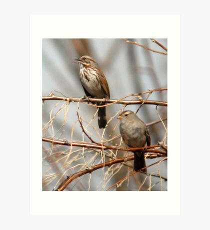 Song Sparrow and White Crowned Sparrow Art Print