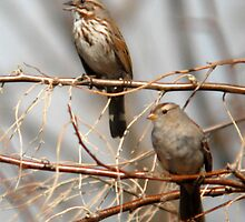 Song Sparrow and White Crowned Sparrow by Ryan Houston