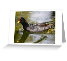 Red Fronted Coot Greeting Card