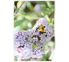 Bee on the Buddleia Poster