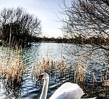 The Peaceful Swan by DavidHornchurch