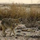 Coyote by Gene Praag