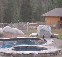 Rural Canadian Geese by Sheryl Solano