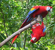 Scarlet Macaws: Ups and Downs by Laurel Talabere