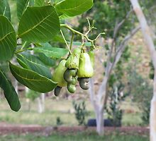 Bush Cashew by mickmci