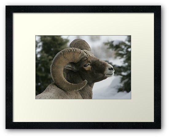 Ram's Pose by Ken McElroy