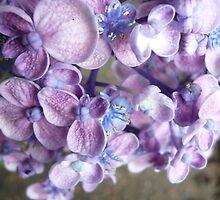 Hydrangea by lucindadodds