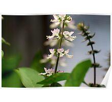 Basil Blossom Poster