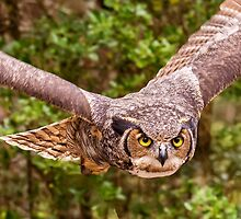 Great Horned Owl by J. Day
