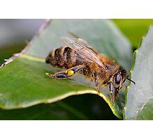 Macro Bee Photographic Print