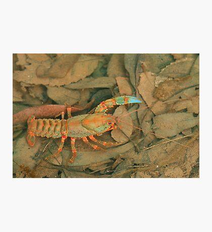 Crazy crayfish Photographic Print