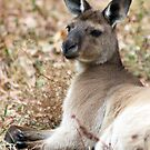 Australian Wildlife by Rachael Taylor