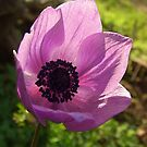 One Delicate Purple Anemone Coronaria Flower by taiche