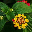 Lantana Leaves by taiche