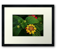 Red and Yellow Lantana Flower and Green Leaves Framed Print