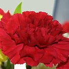 Dianthus caryophyllus? by Judy Clark
