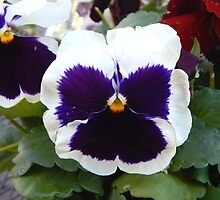 White Pansy by WarrenL