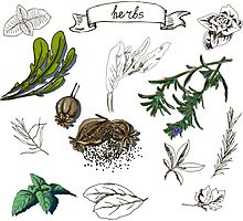 illustration set with hand drawn herbs Photographic Print