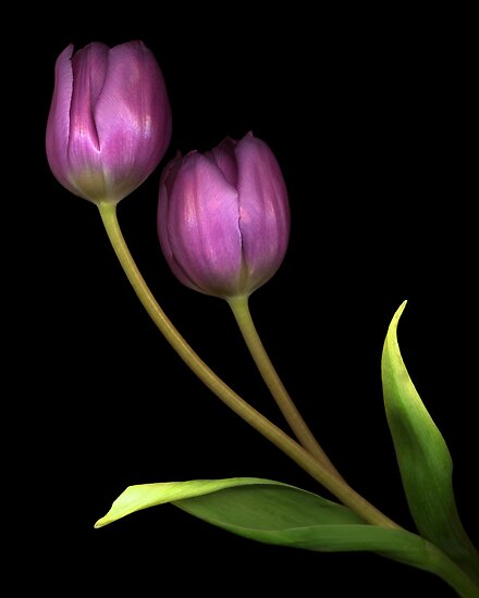 Tulip Pair by TheWalkerTouch