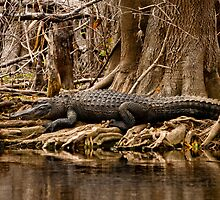 Gator, St. Johns River, Florida Feb. 2009 by Albert Dickson