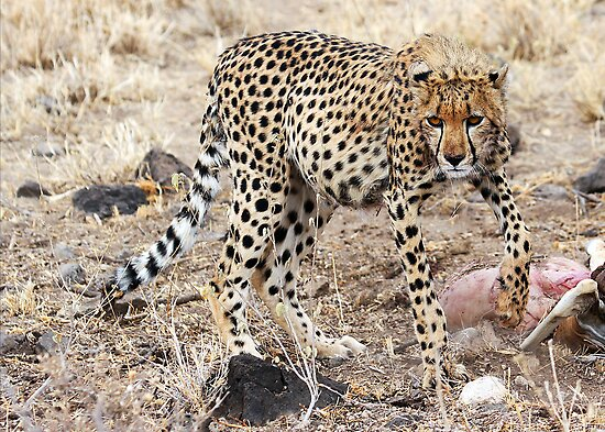 CHEETAH AT A KILL - KENYA by Michael Sheridan