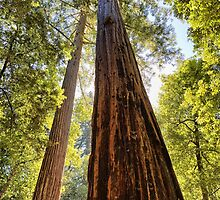 The Redwoods by Yair Karelic
